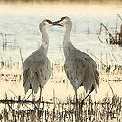 Sandhill Crane pair by eyes4nature