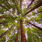 Rotorua Redwood Canopy by TonyCrehan