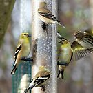 Goldfinches at the Feeder by FrankieCat