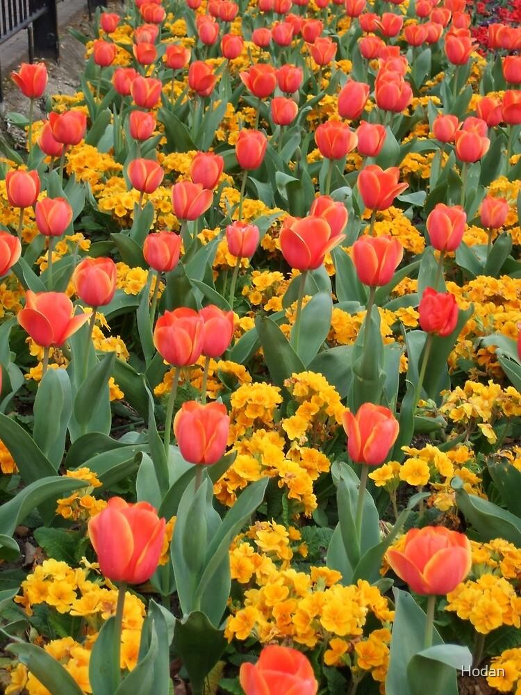 tulips by Hodan