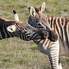 Zebras Face to Face by eyes4nature