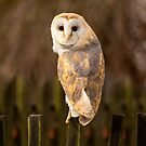 Barn Owl by Dave Hare