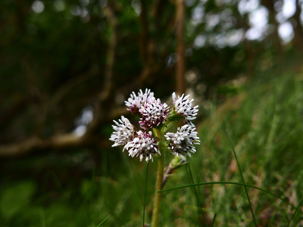 Winter Heliotrope (Petasites fragrans) by IOMWildFlowers