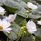 Cosmos over Potimarron by WendyJC