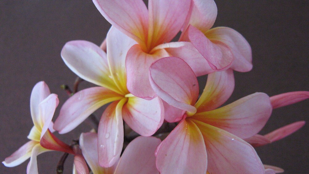 Pink & Yellow Frangipanis. by Mywildscapepics