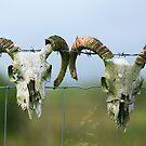 Sheep  skulls by EUNAN SWEENEY