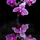 Orchid on Black by Kelvin Hughes
