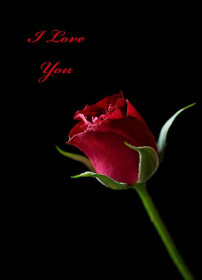 A Valentine Rose by Lynne Morris