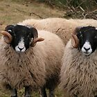 Portrait of Swaledale Ewes by Kat Simmons