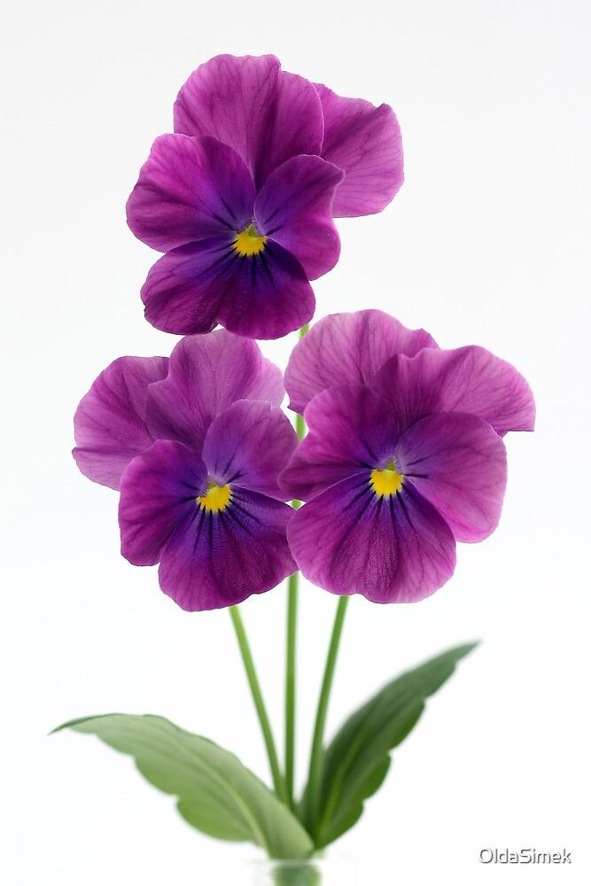 three violet pansies by OldaSimek