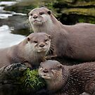 Asian short clawed otter by John Wallace