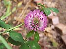 Wild Pink Clover by NatureGreeting Cards ©ccwri