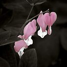Bleeding Hearts by Colleen Drew