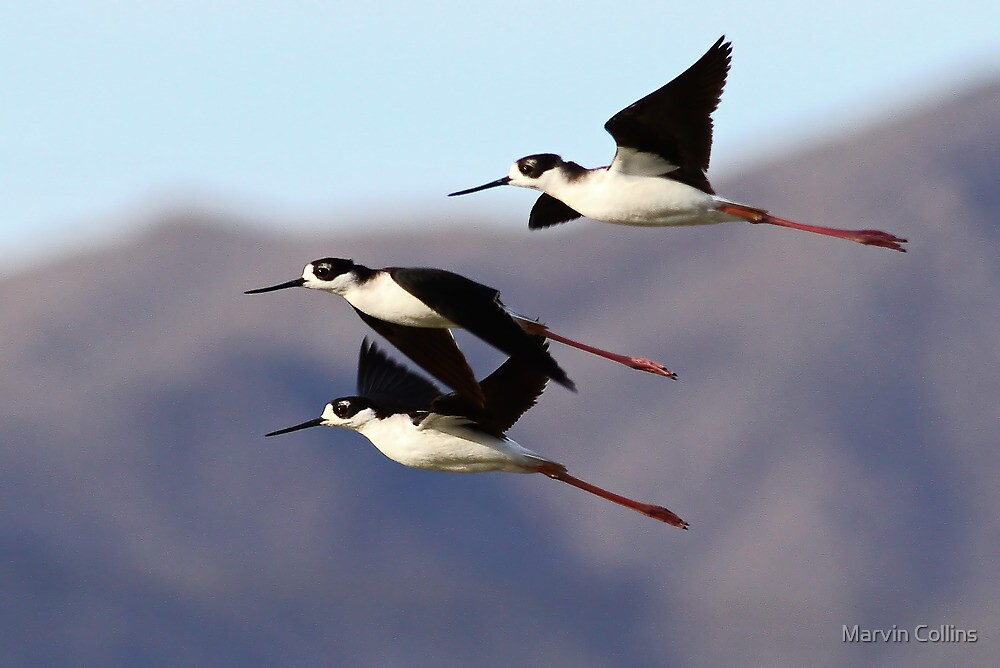 0130102 Black Necked Stilts by Marvin Collins