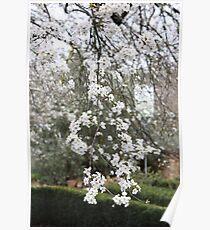 Cherry Blossom, Hepburn Springs Poster