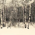 Aspens In The Snow by Vickie Emms