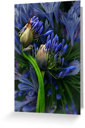 Agapanthus in Abundance by Dianne English