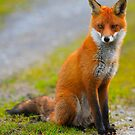 Red  Fox .Ireland by EUNAN SWEENEY