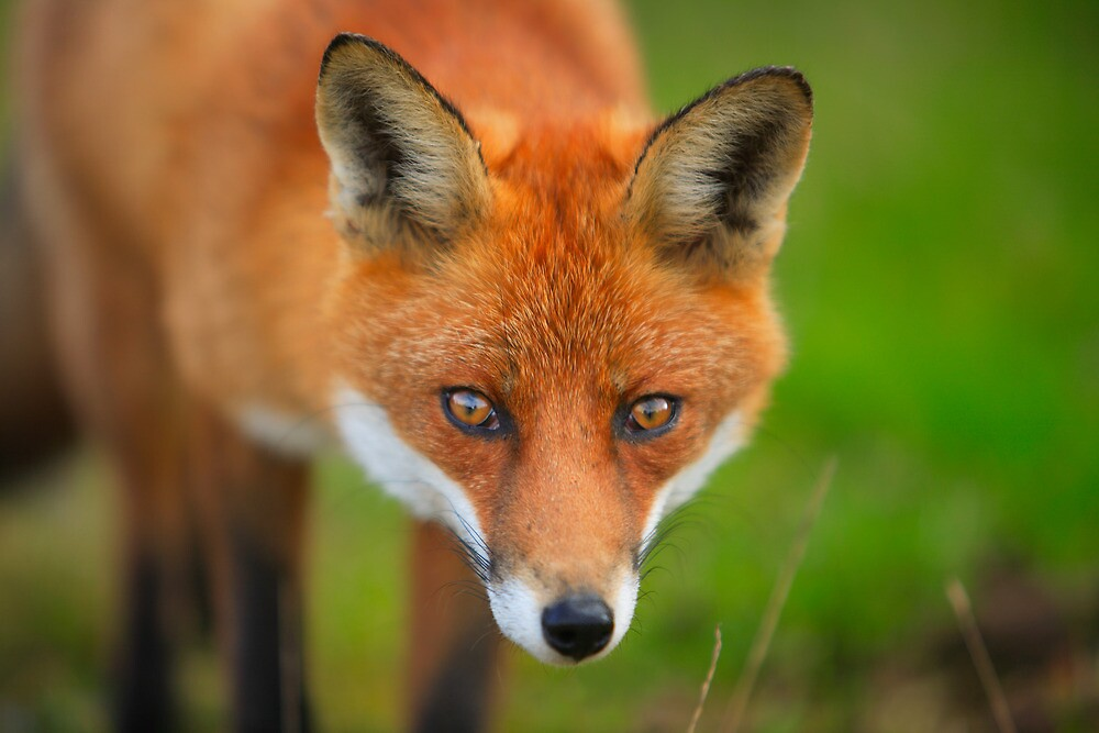 Wary  Red  Fox by EUNAN SWEENEY