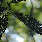 Leaf Silhouette by Darren Freak