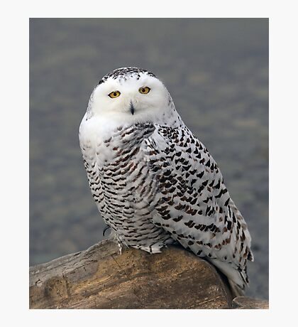 Owl on the Rocks - Snowy Owl Photographic Print