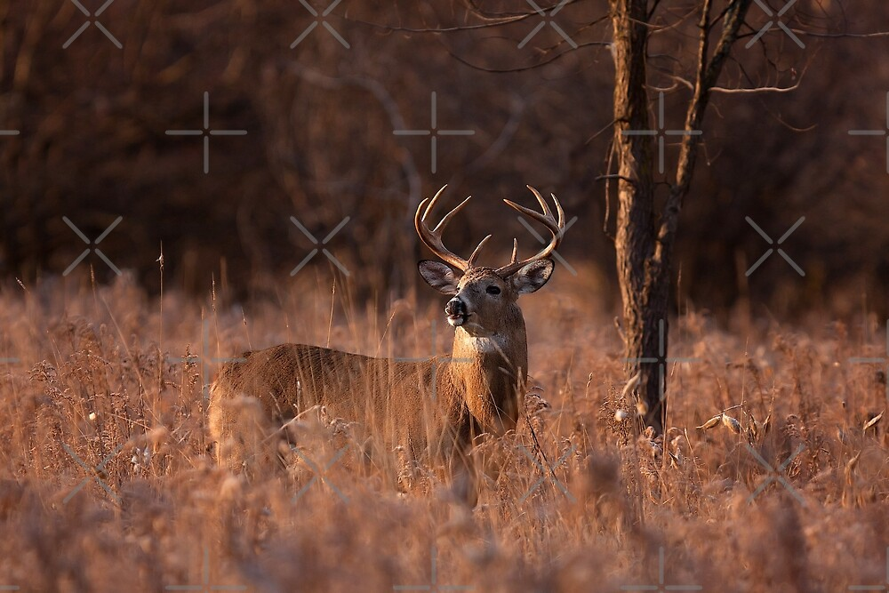 Basking in the light - White-tailed deer by Jim Cumming