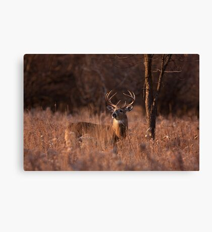 Basking in the light - White-tailed deer Canvas Print