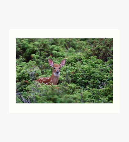 Fawn - White-tailed Deer Art Print