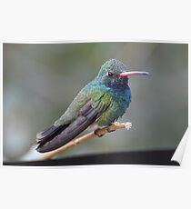 Broad-billed Beauty  Poster