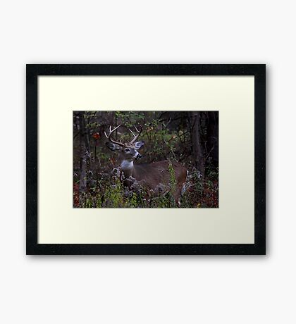 Young Prince - White-tailed Deer Framed Print