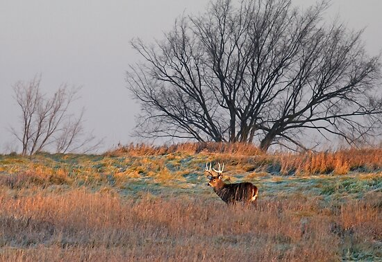 Painted Hill - White-tailed deer by Jim Cumming