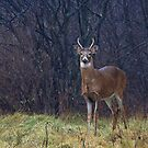 Young Buck in Snow by Jim Cumming