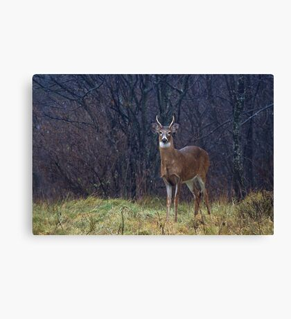 Young Buck in Snow Canvas Print