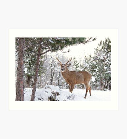 Frosty Buck - White-tailed Buck, Ottawa Art Print