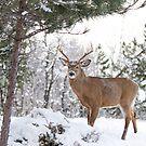 Frosty Buck - White-tailed Buck, Ottawa by Jim Cumming