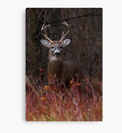 Young Buck - portrait - White-tailed Deer Canvas Print