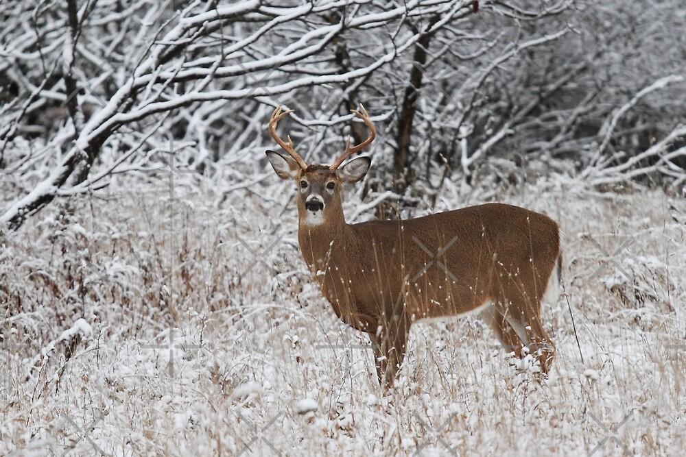 White-tailed deer buck in snow by Jim Cumming