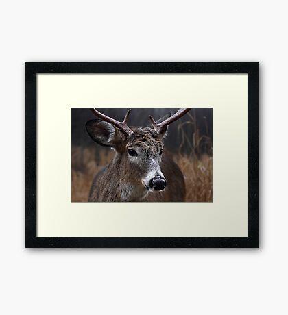 Light from Above - White-tailed deer Framed Print
