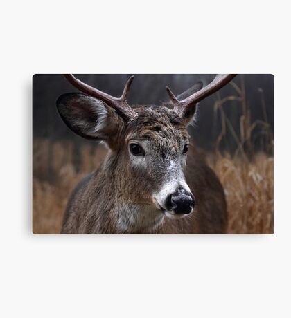 Light from Above - White-tailed deer Canvas Print