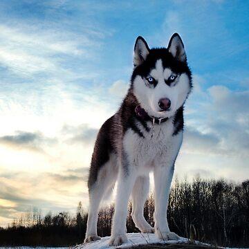 Husky by lvsworks