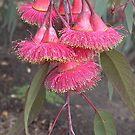 Weeping Red Flowering Gum blossom by BronReid