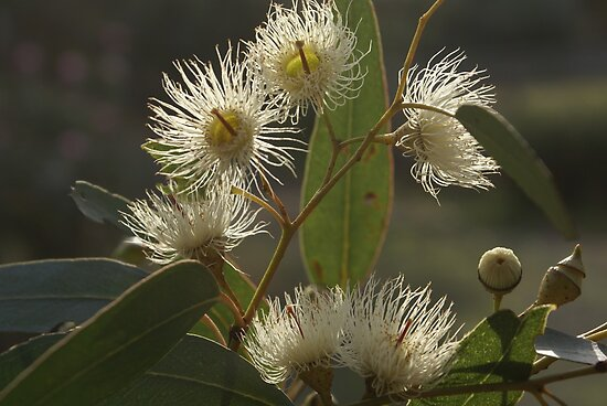 White Flowering Gum Blossom Posters By Bronreid Redbubble