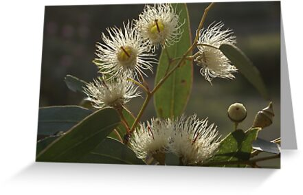 White Flowering Gum Blossom Greeting Cards By Bronreid Redbubble
