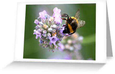 Bumble Bee by Sarah  Chamberlain