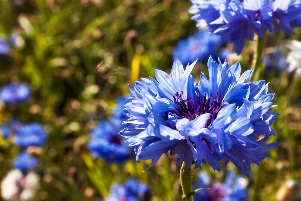 Blue petals by Vicki Field