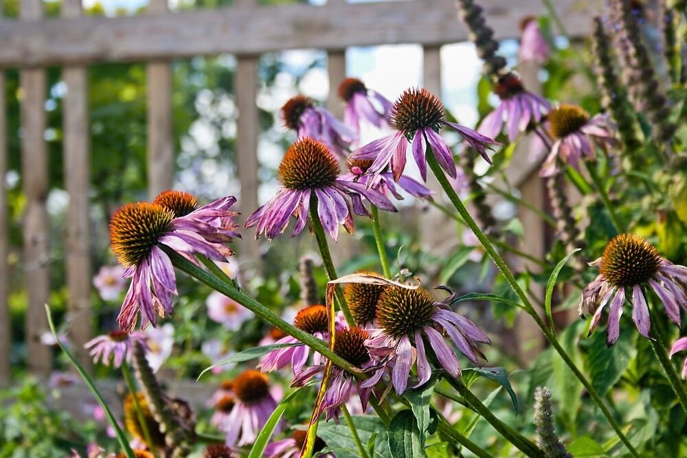 Echinacea flowers by Vicki Field
