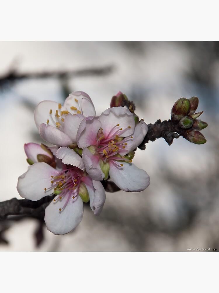Primi mandorli in fiore by rapis60