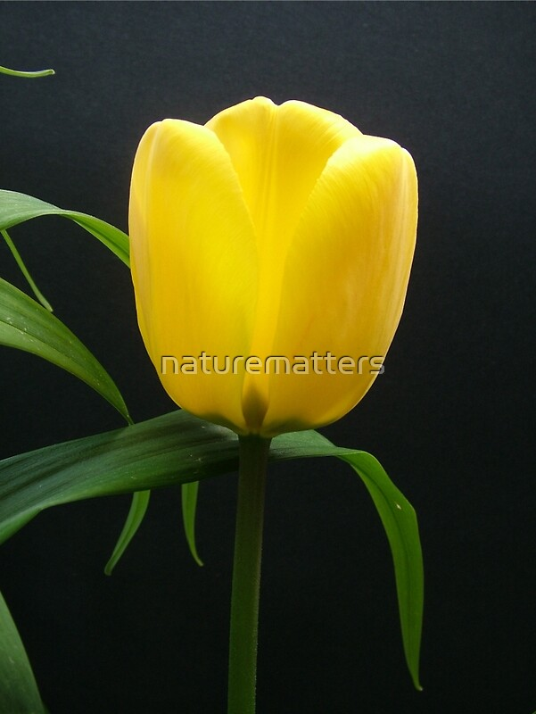 """Single yellow tulip flower in black."" Posters by ..."