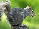 Squirrel by FrankieCat