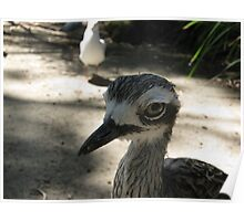 Bush Thick Knee - Adelaide Zoo Poster